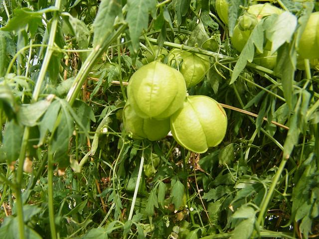 Cardiospermum halicacabum  L. (SAPINDACEAE)