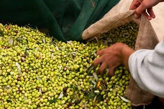 Olive harvesting Costa Navarino | by costanavarino