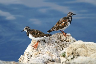 Ruddy Turnstones | by Dave 2x