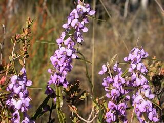 Hovea heterophylla, Creeping Hovea