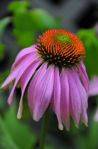 Coneflower Awakens | by Great Lakes Gallery