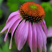 Coneflower Awakens