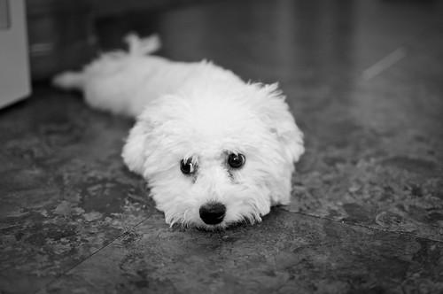 new puppy (bichon frise)