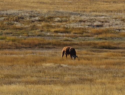nikon cattle wyoming nikkor livestock grazing i25 cheyenne restarea ruralamerica d300 nikkorlens horwath interstate25 ruralwest ruralamericanwest nikkor18mm200mmlens rayhorwath wyomingvisitorscenter