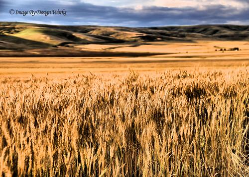 oregon golden farm or wheat farming pendleton hdr wheatfields imagebydesignworks