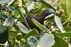 Sickle-winged Guan (Chamaepetes Goudotii) by Frank Shufelt