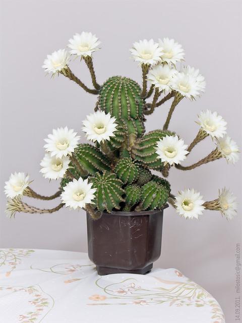 cactuz 18 flowerz