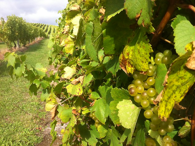 Grapes at Chateau Fontaine