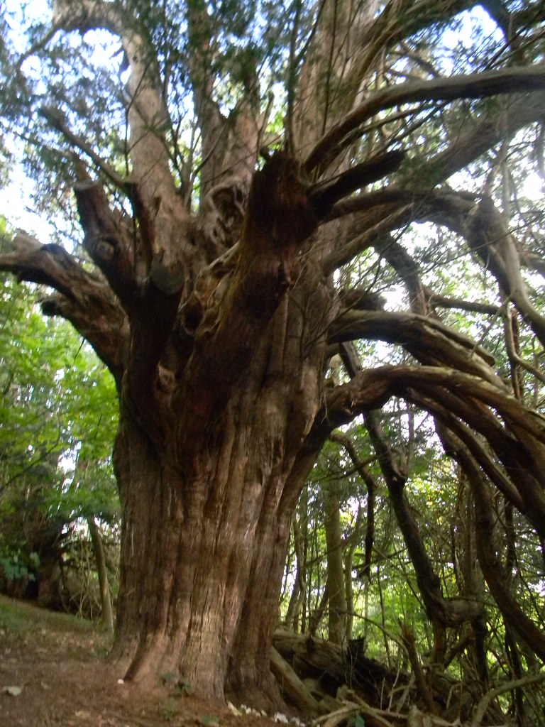Large Yew In or near Druids Grove Box Hill Circular
