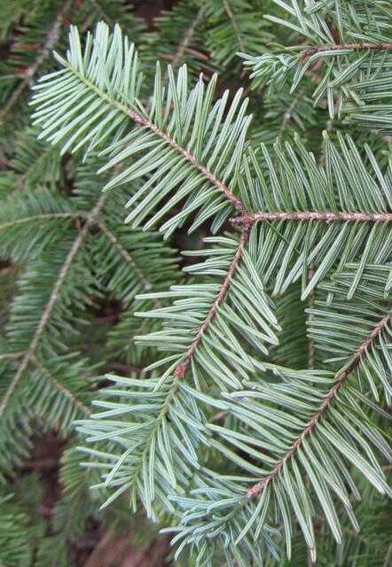 Balsam-Fir-needles-(bottom)