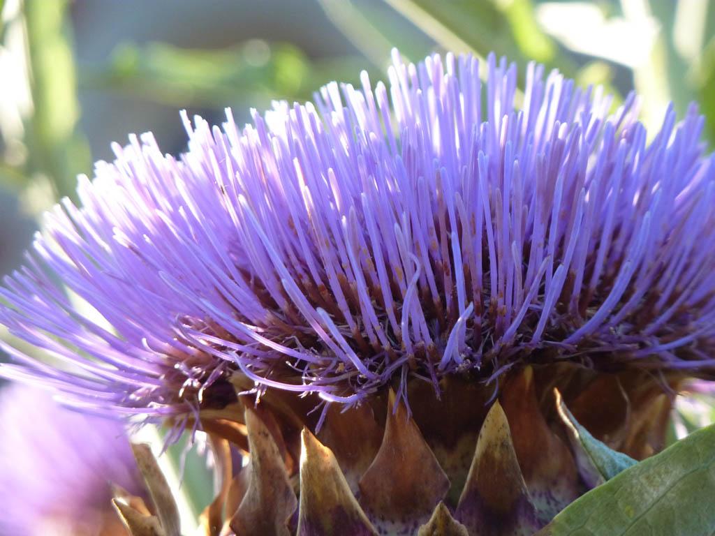 Fleur d'artichaut...... Artichoke flower... P1200475   Flickr