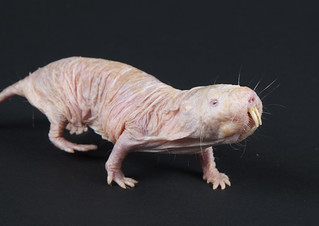 Naked Mole-Rat 20th Anniversary at the Smithsonian's National Zoo | by Smithsonian's National Zoo