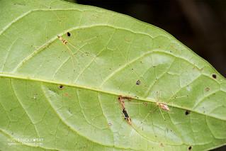 Daddy-long-legs spider (Metagonia cf. maldonado) - DSC_2057