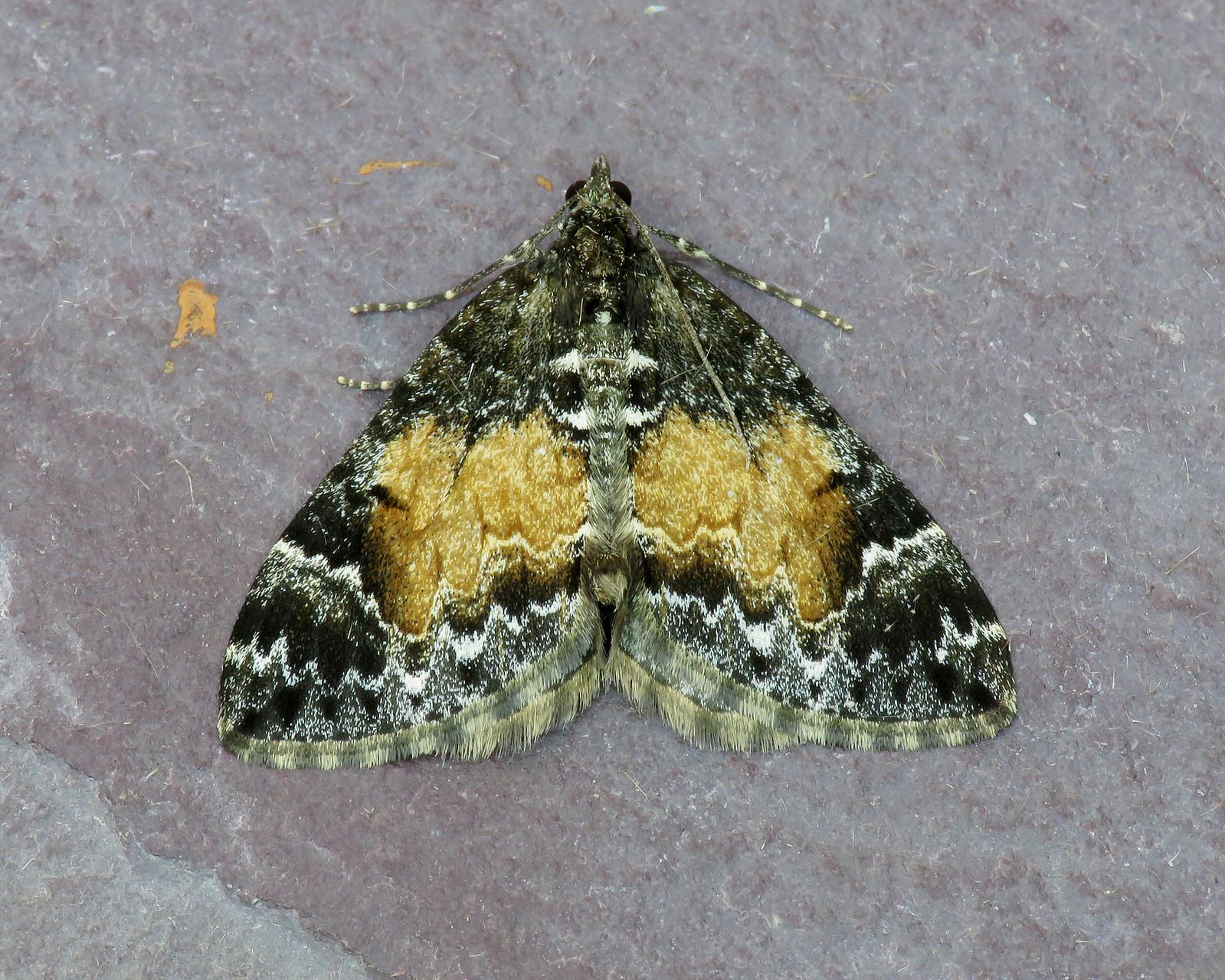 70.097 Common Marbled Carpet - Dysstroma truncata