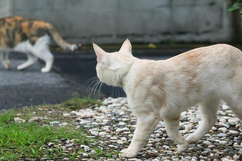 IMG_5204 Cream tabby Japanese cat 薄茶トラ猫