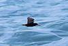 Black Oystercatcher, Big Sur, Monterey, California by Terathopius