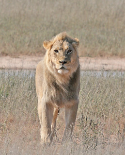 Lion | by Mike Richardson and Sarah Winch