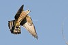 Mississippi Kite (Ictinia mississippiensis) by mesquakie8