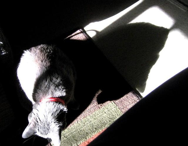 Merlin in shadow