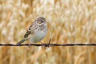 Vesper Sparrow | by Raymond Lee Photography