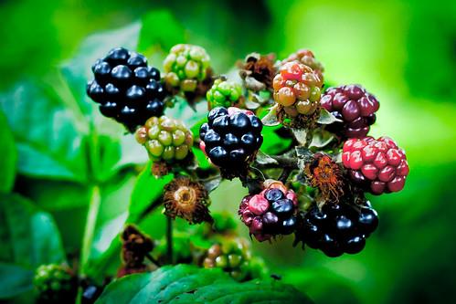 Blackberries | by SkyFireXII