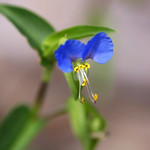 ツユクサ (Asiatic dayflower)
