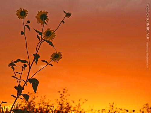 morning flowers flower field sunrise dawn september sunflowers sunflower kansas op overlandpark beforesunrise joco 2011 johnsoncounty kansascitymetro kcmetro september2011