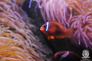 Clown fish-5 | by keywest aquarium