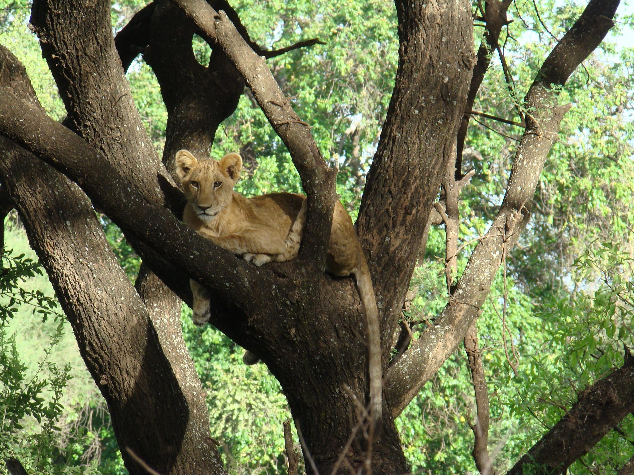 Leona sobre rama de arbol Safari Parque Nacional Lago Manyara Tanzania 07