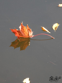 Ahornblatt mit Stichling