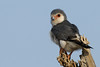 African Pygmy Falcon by yychong