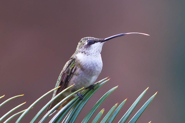 Black-Chinned Hummingbird (Female) - with an angry tongue!