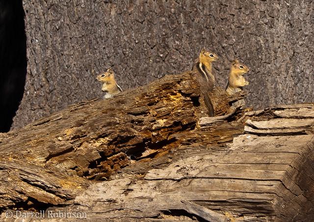 Golden Mantled Ground Squirrels