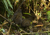 Black-breasted Wood-Quail (Odontophorus leucolaemus) by macronyx