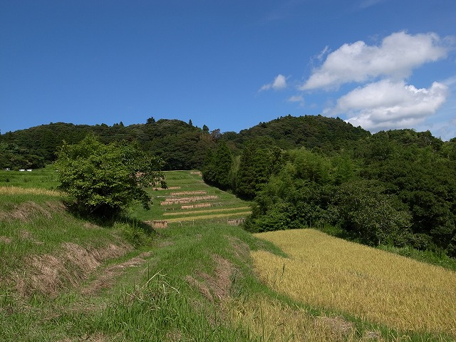 <p>p)稲が実ってます。青い空1すばらしい自然を実感。</p>