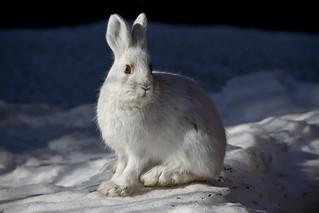 Snowshoe Hare   by DenaliNPS
