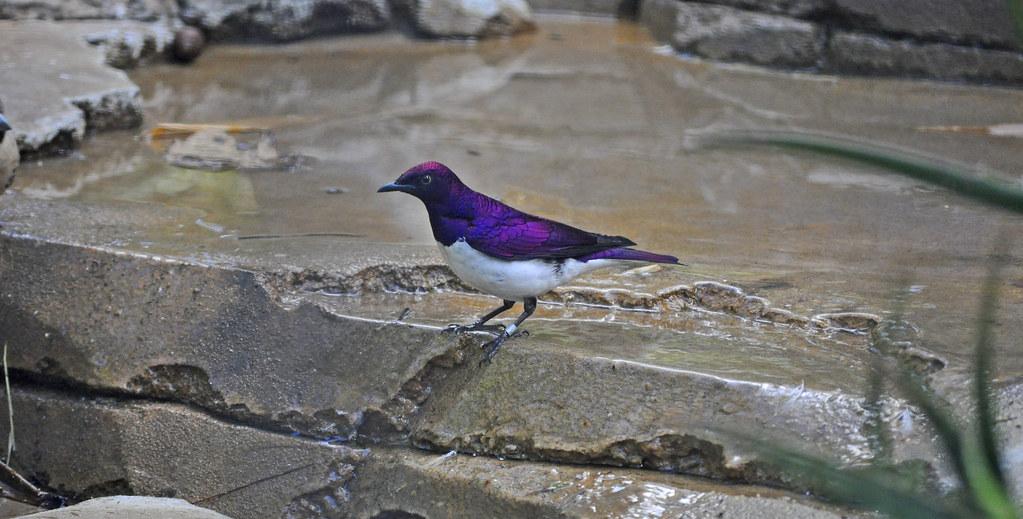 Violet-backed/Amethyst Starling (Cinnyricinclus leucogaster) - male