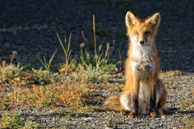 Red Fox - AK