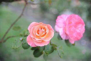 Rose at Morcom Rose Garden 2