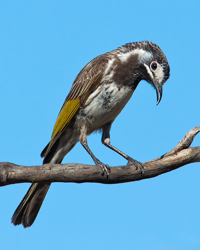 White-fronted Honeyeater | by Peter Jacobs Photos