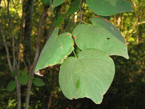 plant tree leaf alabama cerciscanadensis easternredbud madisonalabama indiancreekgreenway