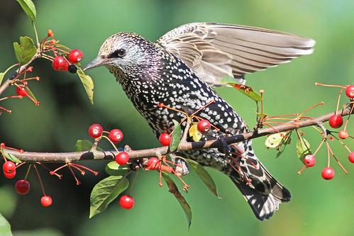 "autumn tree bird nature canon berries ngc starling npc avian europeanstarling sturnusvulgaris westernma alittlebeauty ""flickraward"" shelshots"
