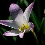 ハブランサス'チェリーピンク'/Habranthus cv. Cherry Pink-A