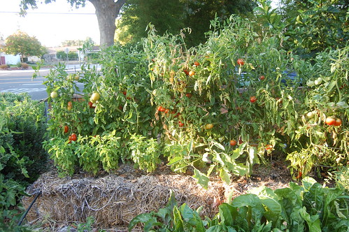 A row of straw bale tomatoes in my garden. Five different kinds of tomatoes. | by mslaura