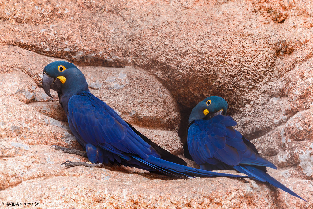 Arara-azul-de-lear   (Anodorhynchus leari)   -   Lear's Macaw     *Apresenta risco de extinção