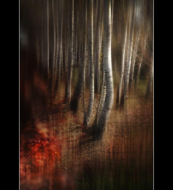 Danza di betulle - dance of birch