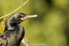 Indian Cormorant Close-up by Atul Sinai Borker