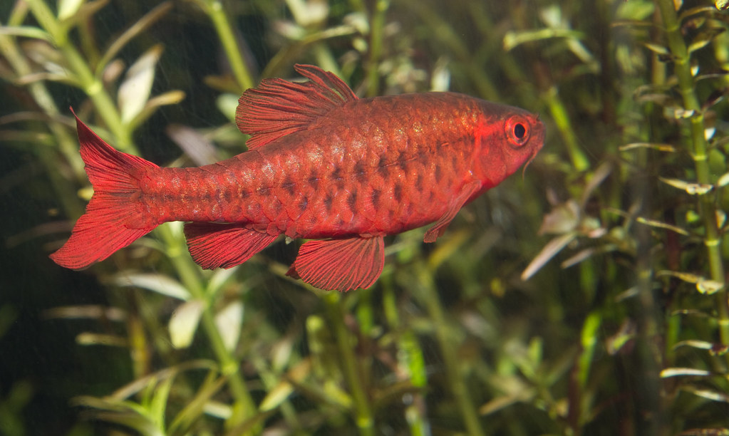 Image result for cherry barb