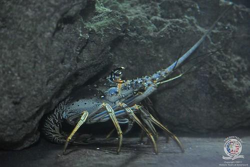 Lobster-2   by keywest aquarium