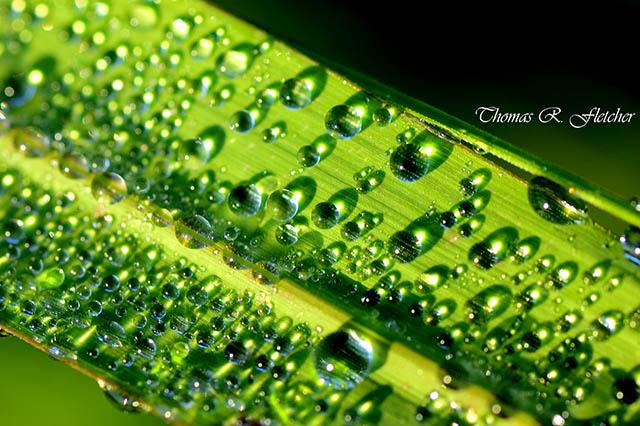 Dewdrops on Lemongrass